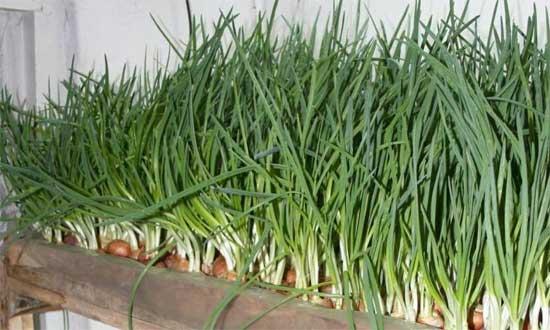 Простота выращивания зелени в теплице