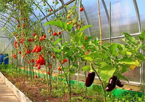 Как выращивать овощи в теплице из поликарбоната