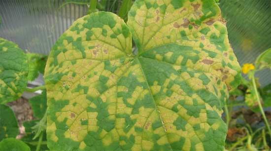 Заболевания растений в теплицах