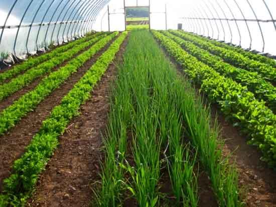 Тепличное выращивание лука на зелень
