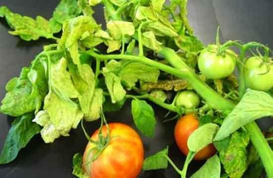 Диагностика тепличных помидоров по листкам