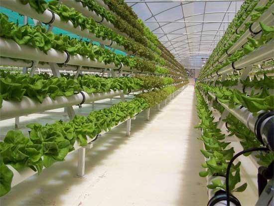 Метод гидропоники для выращивания зелени в теплице