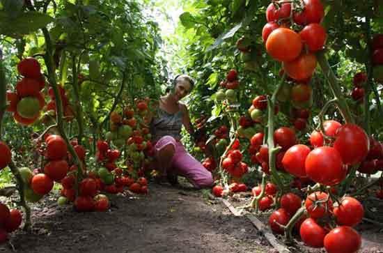 Нюансы выращивания томатов в теплицах из поликарбоната